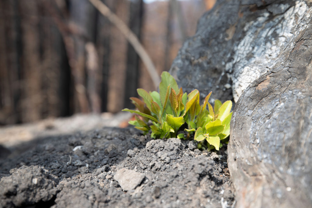 Tree sprouts from ashes